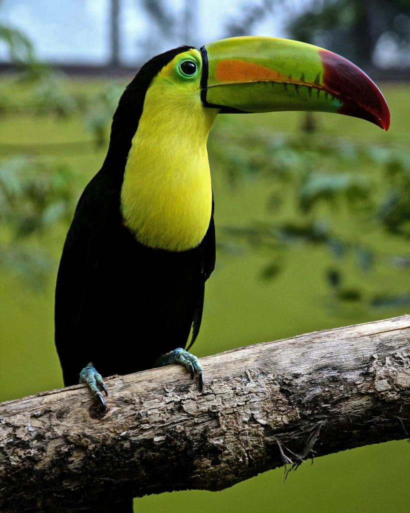observation-oiseaux-toucan-Uvita-Costa-Rica